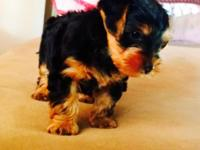 1 male yorkie 8 weeks shots and wormed ready for new