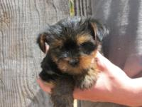 We have an male Yorkie puppy and he is ready to go to a