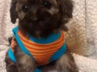 Male Yorkipoo .D.O.B. 7/11/2015 7 weeks old. Available