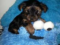 Cute little yorkie searching for a home, only 7 weeks.
