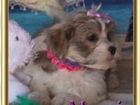 Maggie is a precious girl. Malte-Tzu puppies are