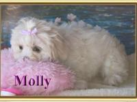 Molly is a precious girl. Malte-Tzu puppies are