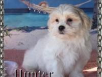 Hunter is a valuable child. Malte-Tzu young puppies are