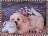 Parker is a valuable dog. Malte-Tzu young puppies are