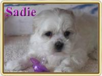 Sadie is a precious girl. Malte-Tzu puppies are