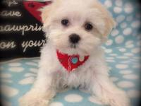 """Cameron"" is an adorable Maltese Male born 5/14/13. He"