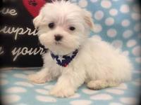 """Carson"" is an adorable Maltese Male born 5/14/13. He"