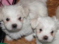 I have 3 Maltese male puppies & 1 Maltese Shih Tzu male