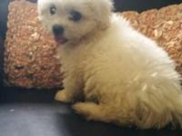 Adorable and energetic Maltese / pekingese Mix Puppies