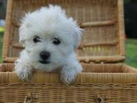 ADORABLE MALTESE/POODLE PUPPIES FOR SALE - 8 weeks old
