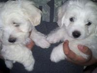 I have 2 Maltese male new puppies. They are 12 weeks