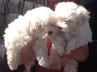 Adorable Maltese puppies CKC registered first puppy