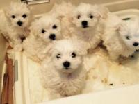 Adorable pure Maltese puppies. 10 weeks old, first