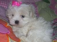 Toy and Teacup Maltese Puppies. They will evaluate