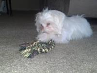 maltese puppy for sale... it is a male up to date on