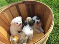 Adorable eight week old Malshi puppies available