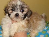 Adorable Maltese/Shih tzu Puppies! 2 females still