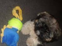 I have 2 ADORABLE small Maltese/Shih Tzu puppies that