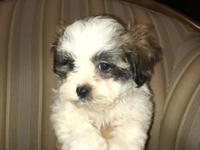 I have one boy Maltese / Shihtzu puppy He is 8 weeks