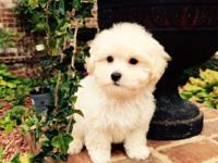 Loving 9 week old Malti-Poo looking for a new home. The