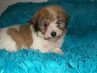 VERY CUTE MALE MALTIPOO. 1ST SHOT AND DEWORMED. HAPPY