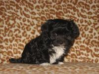 I have Malti-poo male puppies looking for their forever