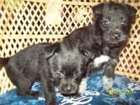 Black Females with white Markings. 6 1/2 weeks old.