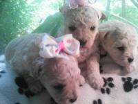 Sweet llittle girls! Mom is a malti-poo and dad is a