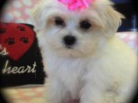 We have an adorable Male Maltipoo available for his
