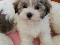 Our little Maltipoo girl named Curtsy is looking for