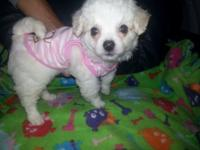 Adorable Maltipoo child girl all set for her forever