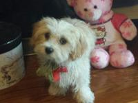 MALTIPOO Adorable and cuddly, the Maltipoo is an