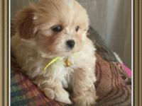 Adorable male maltipoo puppy (maltese / poodle ) Ready