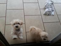 We have two 4 month old Maltese /Poodle females.