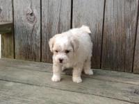 Maltipoo Puppies- ready now. Solid white, cream or