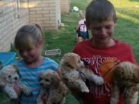 Adorable Maltipoo puppies. These darling puppies were