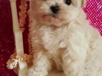 Offering for sale 4 special babydolls Maltipoo puppies.