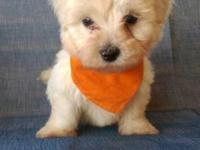 I have 4 male Maltipoo puppies that are 8 weeks old