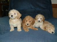 A litter of 4 male Maltipoo Puppies searching to find a
