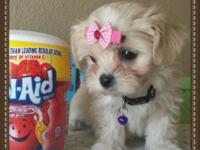 MALTIPOO. Cute and cuddly, the Maltipoo is an