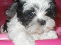 Adorable 9 week old male Maltipoo puppy ready for his