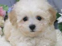 Cute soft and fluffy 9 weeks aged MALTIPOO PUPPIES.