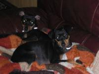 Have two male Manchester Terrier/Dachund mix up for