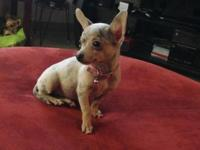 Beautiful merle chihuahua puppy, female. Dob- 6/2/15,