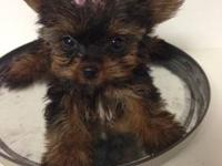 TRUE TEA-CUP Yorkie little Girl Super tiny little