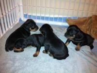 I have five adorable Min Pin puppies ready to go to new
