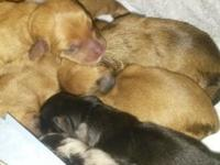 8 female mini dachshunds 5 reds, 1 black/tan, 2 double