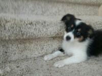 Sweet black tri mini Aussie. Partly house trained and