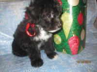 Sweet lady little Mini aussiedoodle young puppy will be