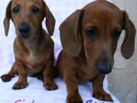 Ten week old Dachshund Puppies. 1st shots, dewormed,